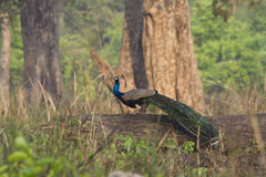 Indian peafowl in Bardia, Nepal Royalty Free Stock Image