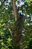 Indian Peafowl Bird. An Indian Peafowl Bird perched on a tree Stock Photography