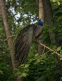 Indian Peafowl Bird. An Indian Peafowl Bird Perched on a tree branch Royalty Free Stock Image