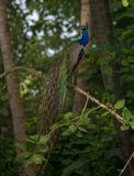 Indian Peafowl Bird. Perched on a tree Stock Images