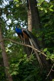 Indian Peafowl Bird. An Indian Peafowl bird perched on a tree Stock Photos
