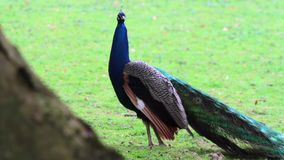 The Indian peafowl stock footage