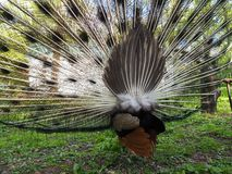 Indian peafowl or blue peafowl Pavo cristatus with open tail, back view. Indian peafowl or blue peafowl Pavo cristatus with open tail view from the back royalty free stock images