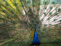 Indian peafowl or blue peafowl Pavo cristatus with open tail in the yard of the park zoo stock photo