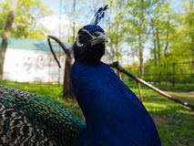 Indian peafowl or blue peafowl Pavo cristatus in the yard of the park zoo portraite. Close view stock image