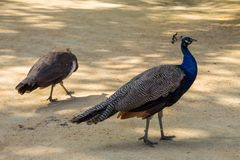 Indian peafowl or blue peafowl Royalty Free Stock Image