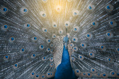 The Indian peafowl or blue peafowl, a large and brightly colored bird. The Indian peafowl or blue peafowl, a large and brightly colored bird, is a species of Stock Photography