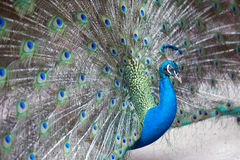 The Indian peafowl or blue peafowl, a large and brightly colored bird. The Indian peafowl or blue peafowl, a large and brightly colored bird, is a species of Royalty Free Stock Photography