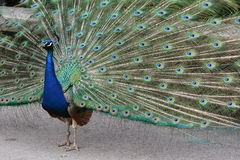 Indian Peafowl / Blue Peafowl / Pavo Cristatus Royalty Free Stock Photos