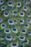 Indian Peafowl / Blue Peafowl / Pavo Cristatus Stock Images