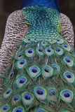 Indian Peafowl / Blue Peafowl / Pavo Cristatus Royalty Free Stock Photo