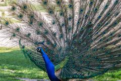 Indian Peacock or Blue Peacock, Pavo cristatus in the zoo stock photos