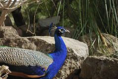 Indian peafowl or blue peafowl Pavo cristatus. Royalty Free Stock Photography
