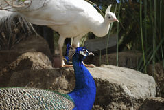 Indian peafowl or blue peafowl Pavo cristatus male. Royalty Free Stock Photography