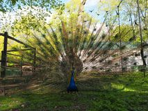 Indian peafowl or blue peafowl Pavo cristatus with open tail. Is walking in the yard of the park zoo close view royalty free stock photography