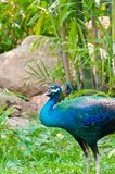 An Indian peafowl is calling out for a female in t Royalty Free Stock Images