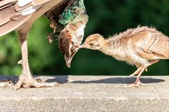 Indian peafowl chick tweaks its mother for the eyelid royalty free stock photography