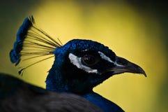 Indian Peafowl close-up. Indian Peafowl (Pavo cristatus) head close-up stock photos