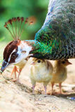 The Indian peafowl closeup chick Royalty Free Stock Photo