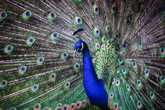 Indian Peafowl displaying Royalty Free Stock Image