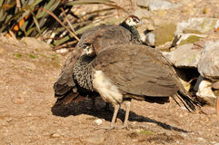 Indian Peafowl Females Royalty Free Stock Photography