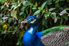 Indian peafowl head royalty free stock images