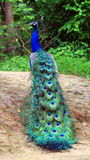 Indian peafowl or The Indian peacock royalty free stock photos