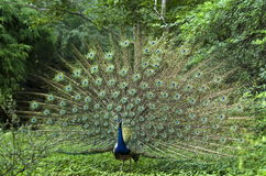Indian peafowl or The Indian peacock royalty free stock photo