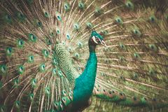 The Indian peafowl Stock Photography