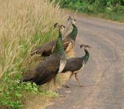Indian peafowl. The national bird of india three female peafowls on road in the state of kerala Royalty Free Stock Photography