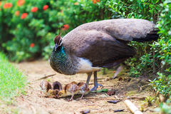 The Indian peafowl with newborn