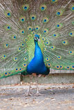 Indian peafowl with opened tail Stock Photos