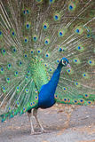 Indian peafowl with opened tail Royalty Free Stock Image