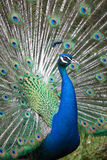 Indian peafowl with opened tail Stock Image