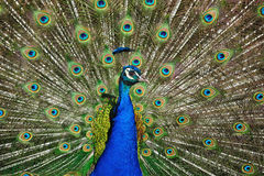 Indian Peafowl (Pavo cristatus). The Indian Peafowl (Pavo cristatus) also known as the Common Peafowl or the Blue Peafowl is a resident breeder in the Indian stock photo