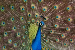Indian peafowl Pavo cristatus. Also known as the blue peafowl stock photography