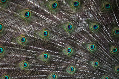 Indian peafowl (Pavo cristatus) Stock Image