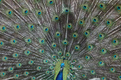 Indian peafowl (Pavo cristatus) Royalty Free Stock Photo