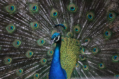 Indian peafowl (Pavo cristatus) Royalty Free Stock Image
