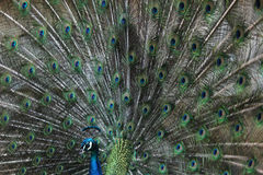 Indian peafowl (Pavo cristatus) Stock Photography