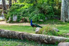 Indian Peafowl Pavo cristatus in Barcelona Zoo.  royalty free stock images