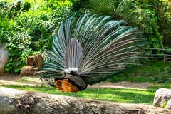 Indian Peafowl Pavo cristatus in Barcelona Zoo.  stock images