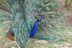 Indian peafowl, Pavo cristatus Royalty Free Stock Photo