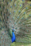 Indian Peafowl, pavo cristatus Royalty Free Stock Images