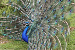Indian Peafowl, pavo cristatus Royalty Free Stock Image