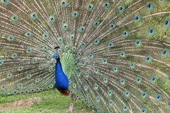 Indian Peafowl, pavo cristatus Stock Image
