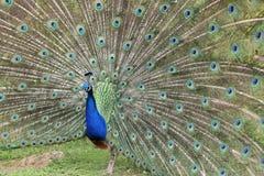 Indian Peafowl, pavo cristatus Stock Image