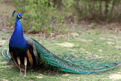 Indian Peafowl, pavo cristatus Stock Photography