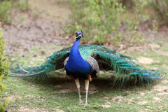 Indian Peafowl, pavo cristatus Royalty Free Stock Photos