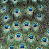 Indian peafowl, Pavo cristatus Stock Images